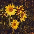 Blooming Sunflower Quotes And Captions For Instagram