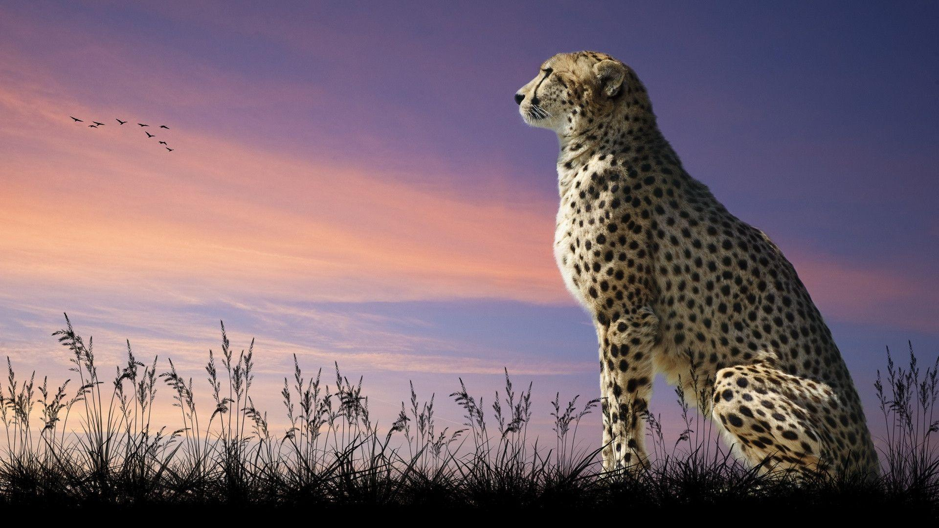 Cheetah Quotes