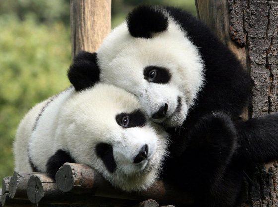 Panda captions for instagram